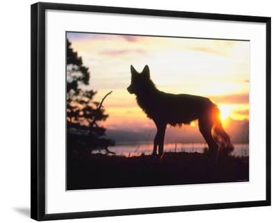 Wild Gray Wolf Standing in Nature and Silhouetted by Glowing Sunset--Framed Photographic Print