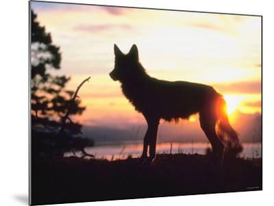 Wild Gray Wolf Standing in Nature and Silhouetted by Glowing Sunset--Mounted Photographic Print