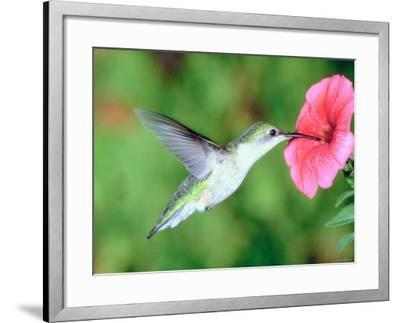Hummingbird Hovering over Beautiful Pink Petunia--Framed Photographic Print