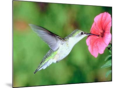 Hummingbird Hovering over Beautiful Pink Petunia--Mounted Photographic Print