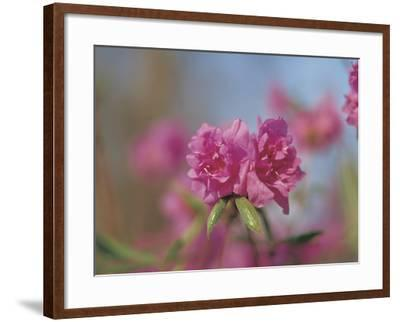 Close-up of Bright Pink Wildflower Blossoms--Framed Photographic Print