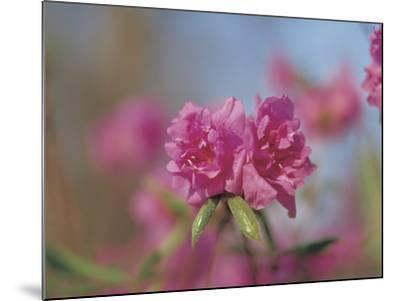 Close-up of Bright Pink Wildflower Blossoms--Mounted Photographic Print