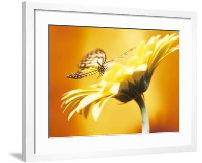 Beautiful Monarch Butterfly on Blooming Daisy--Framed Photographic Print
