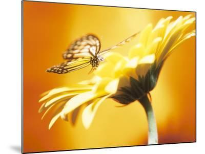 Beautiful Monarch Butterfly on Blooming Daisy--Mounted Photographic Print