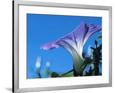 Close-up of Blooming Morning Glory--Framed Photographic Print