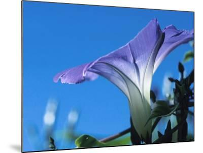 Close-up of Blooming Morning Glory--Mounted Photographic Print