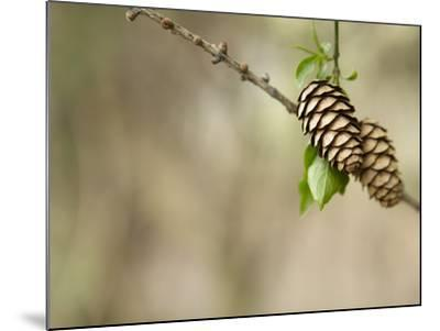 Two Pinecones on Tree Bough--Mounted Photographic Print