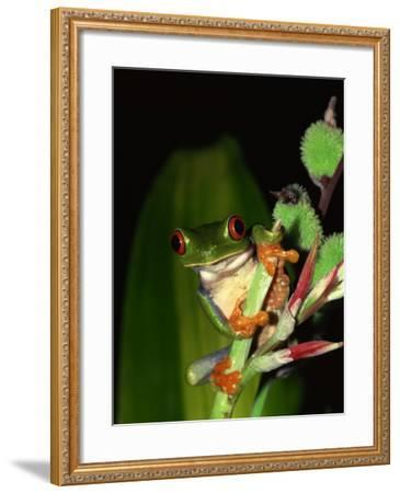 Red-Eyed Tree Frog Perched on Edge of Plant--Framed Photographic Print