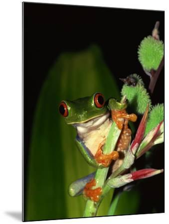 Red-Eyed Tree Frog Perched on Edge of Plant--Mounted Photographic Print
