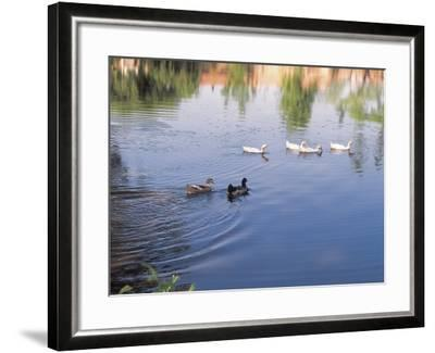 Wild Ducks Swimming in a Pond--Framed Photographic Print