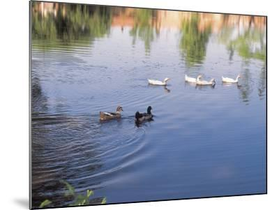 Wild Ducks Swimming in a Pond--Mounted Photographic Print