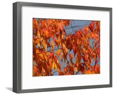 Leaves During Autumn on a Tree in Nature--Framed Photographic Print