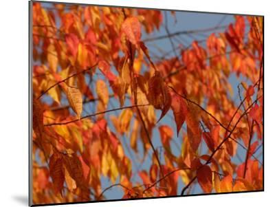 Leaves During Autumn on a Tree in Nature--Mounted Photographic Print