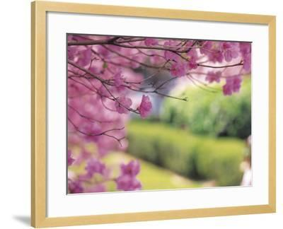 Selective Focus of Beautiful Blooming Flowers on Tree Branches--Framed Photographic Print