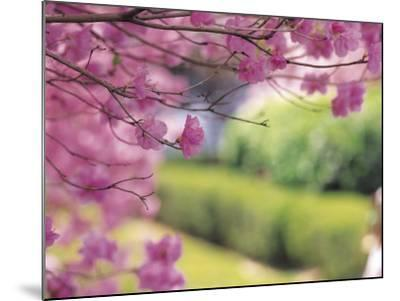 Selective Focus of Beautiful Blooming Flowers on Tree Branches--Mounted Photographic Print