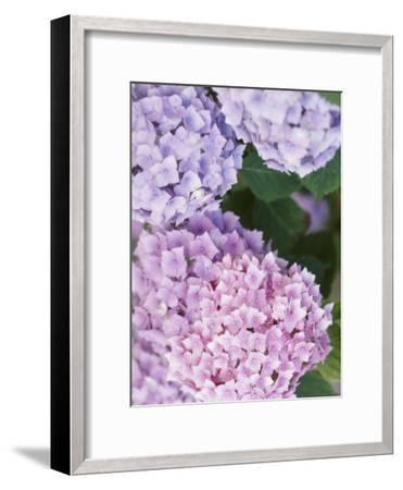 Delicate Pink and Purple Hydrangea Blossoms in Nature--Framed Photographic Print