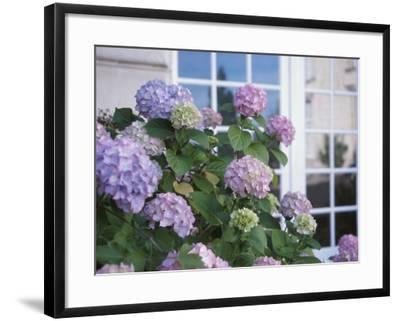 Purple Hydrangeas Blossoming by Window of Cottage--Framed Photographic Print