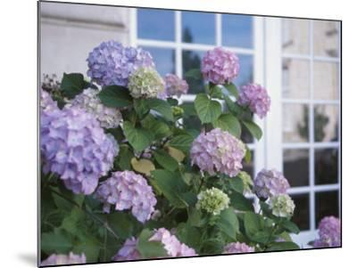 Purple Hydrangeas Blossoming by Window of Cottage--Mounted Photographic Print
