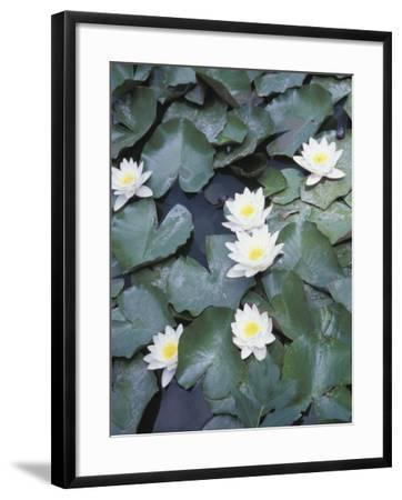 Beautiful Blooming Water Lilies Floating on Pond--Framed Photographic Print