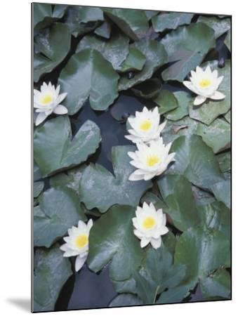 Beautiful Blooming Water Lilies Floating on Pond--Mounted Photographic Print