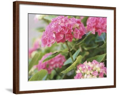 Colorful Blossoms of Pink Hydrangea--Framed Photographic Print