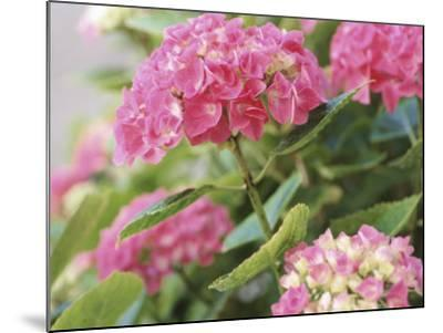 Colorful Blossoms of Pink Hydrangea--Mounted Photographic Print