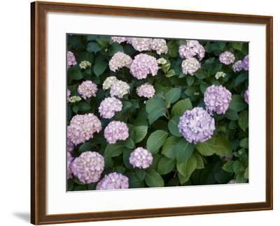 Delicate Purple Hydrangea Blossoms in Nature--Framed Photographic Print