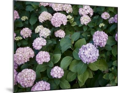 Delicate Purple Hydrangea Blossoms in Nature--Mounted Photographic Print