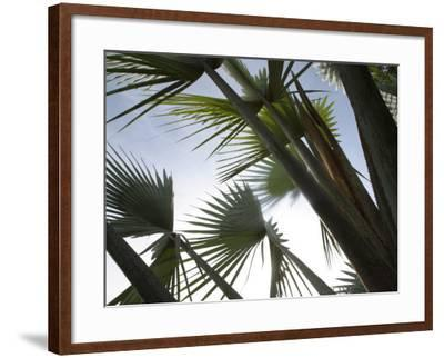 Towering Tropical Palm Tree Branches--Framed Photographic Print
