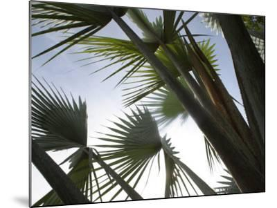 Towering Tropical Palm Tree Branches--Mounted Photographic Print