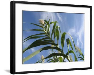 View of Corn Stalk and Blue Sky--Framed Photographic Print
