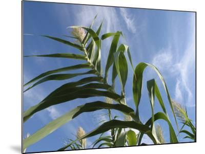 View of Corn Stalk and Blue Sky--Mounted Photographic Print