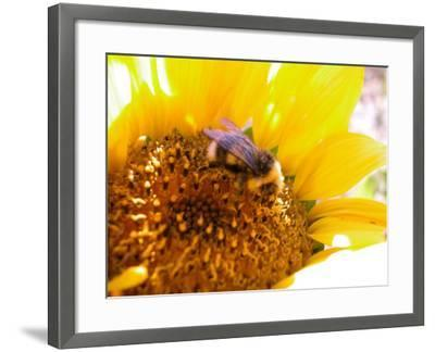 Bee Hovering over Blooming and Bright Sunflower Plant--Framed Photographic Print