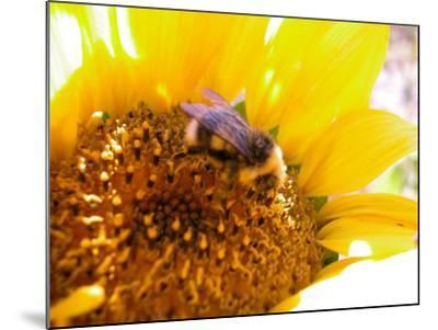 Bee Hovering over Blooming and Bright Sunflower Plant--Mounted Photographic Print