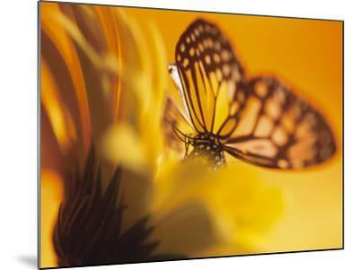 Close-Up Studio Shot of a Delicate Monarch Butterfly Resting on a Yellow Asteraceae Flower--Mounted Photographic Print