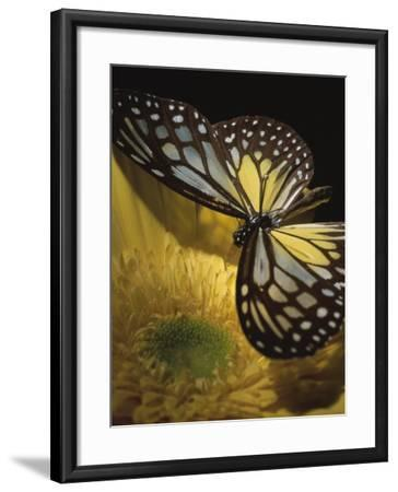 Close-Up of a Monarch Butterfly on a Yellow Asteraceae Flower--Framed Photographic Print