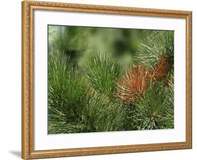 Close Up of Fresh Green Pine Needle Branches--Framed Photographic Print