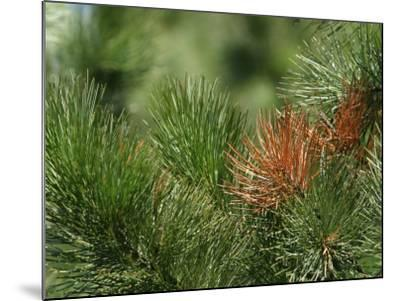 Close Up of Fresh Green Pine Needle Branches--Mounted Photographic Print