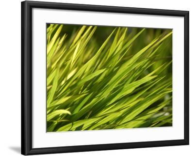 Close-Up of Verdant Green Blades of Grass Growing--Framed Photographic Print