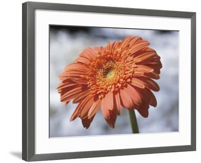 Orange Gerber Daisy Flower Blooming--Framed Photographic Print