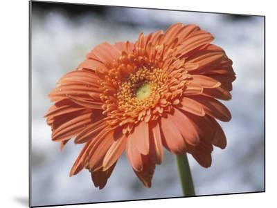 Orange Gerber Daisy Flower Blooming--Mounted Photographic Print