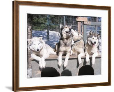 Husky Dogs Resting in Kennel in Winter--Framed Photographic Print