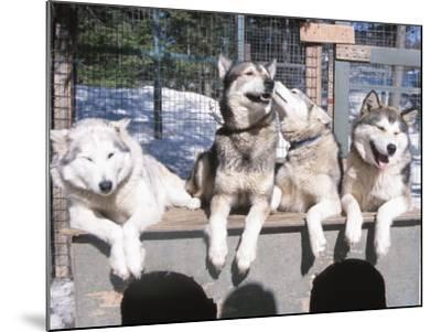 Husky Dogs Resting in Kennel in Winter--Mounted Photographic Print