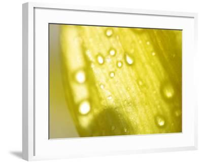 Water Droplets on Yellow Flower Petal--Framed Photographic Print