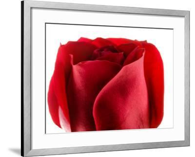 Beautiful and Elegant Red Rose--Framed Photographic Print