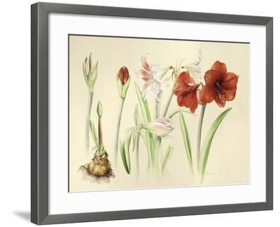 Hippeastrums in January, 2016-Alison Cooper-Framed Giclee Print
