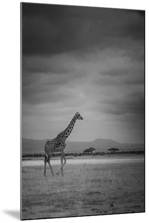 Amboseli Park,Kenya,Italy a Giraffe Shot in the Park Amboseli, Kenya, Shortly before a Thunderstorm-ClickAlps-Mounted Premium Photographic Print