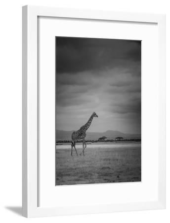 Amboseli Park,Kenya,Italy a Giraffe Shot in the Park Amboseli, Kenya, Shortly before a Thunderstorm-ClickAlps-Framed Premium Photographic Print