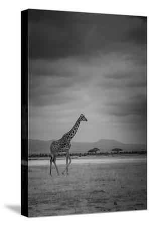 Amboseli Park,Kenya,Italy a Giraffe Shot in the Park Amboseli, Kenya, Shortly before a Thunderstorm-ClickAlps-Stretched Canvas Print