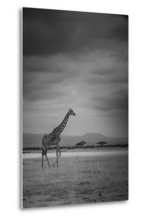 Amboseli Park,Kenya,Italy a Giraffe Shot in the Park Amboseli, Kenya, Shortly before a Thunderstorm-ClickAlps-Metal Print